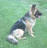 Baron two year old German Shepherd.